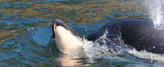 Iata ce inseamna sa fii mama in lumea balenelor! E induiosator ce a facut pentru puiul ei, desi stia ca e in van