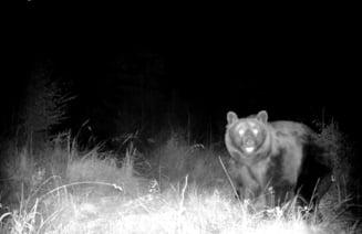 Imagini cu ursul Arthur, suprins de camerele de monitorizare aproape de locul unde a fost impuscat VIDEO