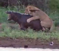Imagini de senzatie din savana africana: cum a fost pus la punct un leu dupa ce a atacat un pui de hipopotam (Video)