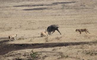 Imagini fabuloase din savana africana: trei lei, pusi la respect in timp ce atacau un pui de bivol (Video)