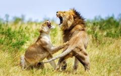 Imagini incredibile din savana africana: ipostazele uimitoare in care au fost surprinsi mai multi lei (Galerie foto)