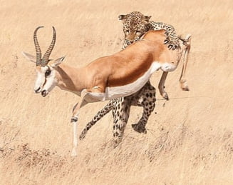 Imagini socante din savana: Ce-a putut sa faca un leopard in doar 20 de secunde (Galerie foto)