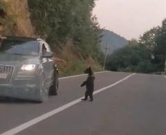 Imagini triste: O ursoaică însoțită de pui cerșesc mâncare de la șoferii opriți pe un drum pentru a-i filma