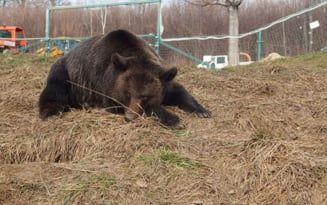 Imagini tulburatoare cu un urs care a fost captiv 20 de ani la Zoo Piatra Neamt. Merge obsesiv, in cerc, si in libertate
