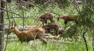 Imagini unice surprinse in inima muntilor nostri: Un ras si cativa iezi de capra neagra (Video)