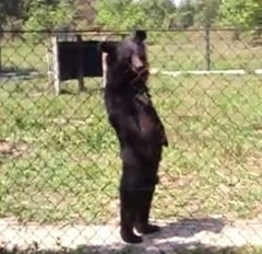 Imaginile de senzatie care au pus Internetul pe jar: Este un urs sau un om? (Video)