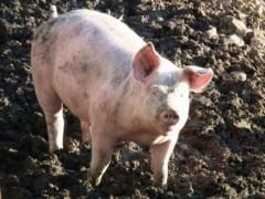 Impactul pestei porcine: Carnea de porc e mai ieftina in zonele afectate de epidemie