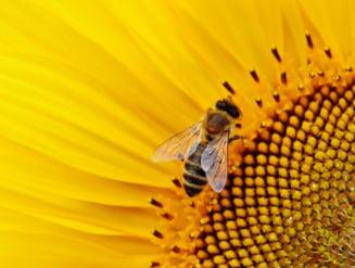 Importanta albinelor in ecosistem. Factori care le ameninta existenta
