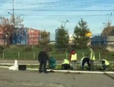 In Craiova sunt plantate panselute, la inceput de decembrie