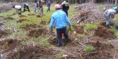 In aceasta primavara, Directia Silvica Harghita va regenera o suprafata forestiera totala de 508 hectare