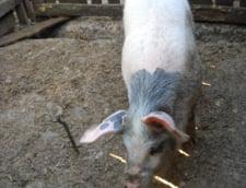 In plina criza de pesta, porcii hoinaresc pe strazi sau sunt impartiti vecinilor ca sa nu-i omoare autoritatile (Video)