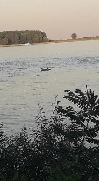 In plina epidemie de pesta, mai multe cadavre de porc plutesc pe Dunare sau zac pe campuri