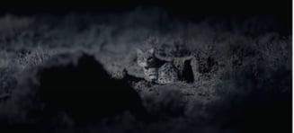 In premiera, iata sunetele scoase de una dintre cele mai mici specii de pisica salbatica din lume (Video)