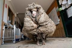 Inainte si dupa. Cum arata acum o oaie care a fost tunsa de 35 de kilograme de lana