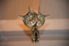 Inamicul tacut din corpul pisicii tale: Cum influenteaza creierul celui pe care il infecteaza