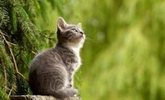 Inca o pisica a fost confirmata cu coronavirus, infectata de stapana ei