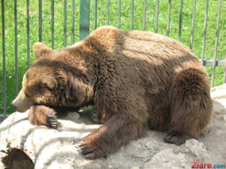 Inca un urs a fost lovit mortal de o masina, in Mures