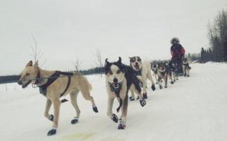 Incalzire globala: Ce au fost fortati sa faca organizatorii celebrei curse de sanii trase de caini din Alaska (Foto)