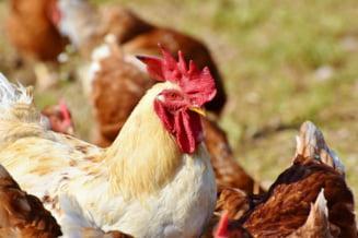 Industria carnii de pasare, amenintata de raspandirea rapida a gripei aviare