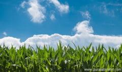 Industria cerealelor: La ce se foloseste porumbul