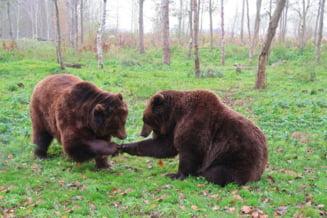 Inițiativa legislativă prin care un deputat UDMR vrea sa reglementeze numărul urșilor