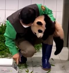 Inregistrarea care a facut inconjurul internetului. Un ursulet panda se agata de piciorul unui ingrijitor din Coreea de Sud VIDEO