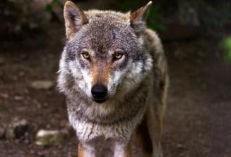 Intamplare inedita in Belgia: Un lup este suspectat ca ar fi mancat un cangur