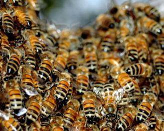 Invazie de albine, la Timisoara