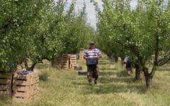Invitatie la cules de prune, in livada de la Istrita: Mananci cat vrei, platesti doar ce iei la tine
