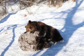 Iohannis a promulgat modificarile la Legea Vanatorii, dupa ce planul PSD de a ucide ursi nu a trecut de Parlament