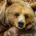 Ipoteza socanta in cazul ursului gasit mort la o cabana din Hunedoara: s-ar fi automutilat dupa ce a intrat in panica