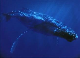 Islanda ar putea fi sanctionata, din pricina vanatorii de balene