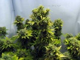 Italia: Roman arestat pentru ca avea o plantatie de marijuana