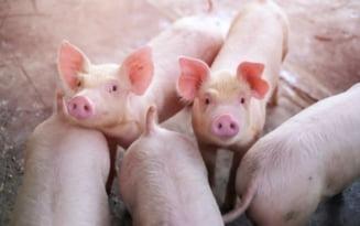 Judetul Ialomita a scapat de pesta porcina: Au fost ridicate toate restrictiile