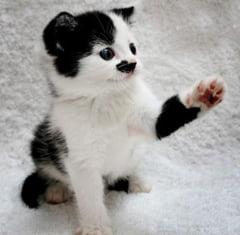 Kitler, pisicuta care seamana cu Hitler (Galerie foto)