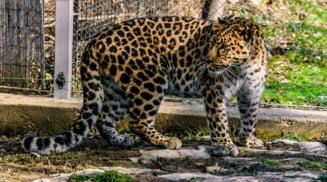 La Gradina zoologica din Sibiu au fost adusi un leopard de Amur si doi lupi albi
