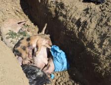 La Grindu, porcii erau pur si simplu aruncati pe pamantul gol, fara nicio folie