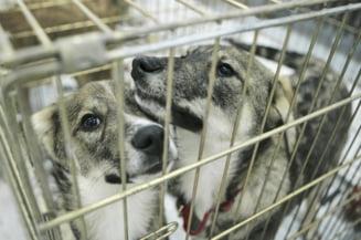 La adoposturi sunt sterilizati doar doi caini pe zi. Hingherii aduna numai cainii blanzi - Interviu