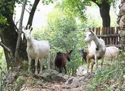 Laptele de capra - leac de viata lunga