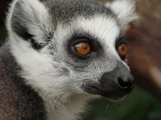 Lemurienii au un obicei tare ciudat: se freaca cu miriapode toxice in zonele intime, iar cercetatorii au aflat de ce