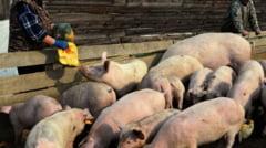 Loviti de pesta porcina, inainte de Craciun
