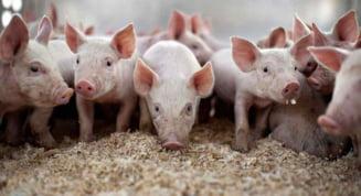 Lovitura naucitoare a pestei porcine africane in judetul Hunedoara. Mii de porci vor fi ucisi din ordinul autoritatilor