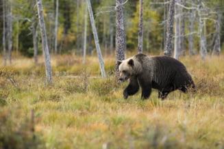 Mai mulți turiști au cerut ajutor jandarmilor după ce au văzut urși pe traseele montane