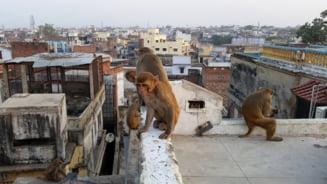 Mai multe maimute au furat probe de sange recoltate de la pacienti infectati cu coronavirus