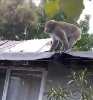 Maimuta care se plimba prin Bucuresti a fost prinsa