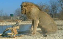 Mandria n-are limite - un sacal ataca un leu (Galerie foto)
