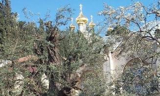 Maslinii din Gradina Ghetsimani, printre cei mai vechi arbori din lume