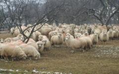 Masurisul oilor, obicei traditional din nord-vestul Transilvaniei, reconstituit la Muzeul Satului din Cluj