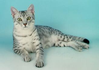 Mau egiptean, pisica favorita a faraonilor