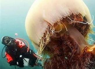 Meduza Nomura, spaima marilor